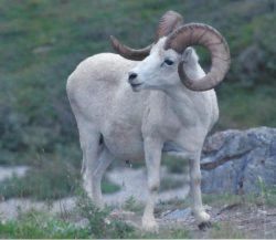 4-Richter - Dall Sheep